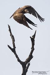 Brown Snake Eagle - Kruger National Park (BenSMontgomery) Tags: brown snake eagle kruger national park raptor bird south africa wildlife sanpark