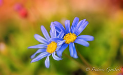 Twins of Autumn (frederic.gombert) Tags: autumn flower flowers color colors blue sun macro plant sony light fall