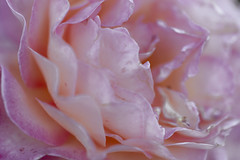 The Story of a Rose 2 (axelord101) Tags: photography macro flower rose colors naturallight