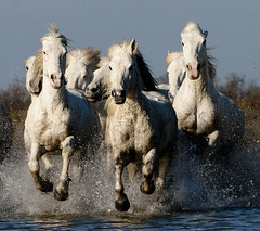Group of White Camargue Horses Galloping through Water (2A) (John Hallam Images) Tags: second camargue france horses galloping water white