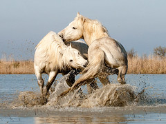 White Camargue Stallions Play Fighting in Water (1A) (John Hallam Images) Tags: approved camargue france horses white stallions fighting stallinos wate ngc