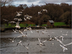342.5 Swooping (Dominic@Caterham) Tags: ducks geese winter lake water trees