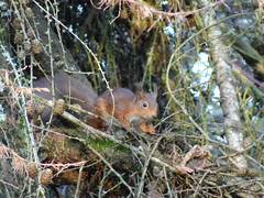 Red squirrel, Seaton Park, Aberdeen (iainh124a) Tags: iainh124a scotland aberdeen uk sony sonycybershot dschx95 dschs95 cybershot dx95