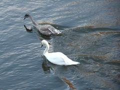 Swans in River Don, Seaton Park, Aberdeen (iainh124a) Tags: iainh124a scotland aberdeen uk sony sonycybershot dschx95 dschs95 cybershot dx95