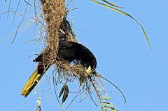 Psarocolius decumanus (mazama973) Tags: bird oiseau frenchguiana guyane guyanefrançaise icteridae psarocoliusdecumanus cassiquehuppé crestedoropendola