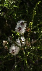 Little Indigenous (Padmacara) Tags: australia fremantle d7100 tamron28300 banksia flower macro shadowlight closeup