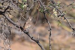 Familiar Chat (chlorophonia) Tags: birds familiarchat animals vertebrates muscicapidae animalia cercomelafamiliaris oenanthefamiliaris oldworldflycatchers erongoregion namibia