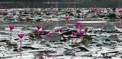 Water lilies II (Campag3953) Tags: angkorwat siemreap cambodia temple waterlillies