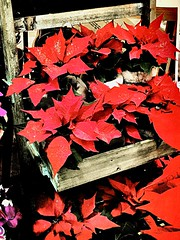 show me your passion. (sugar-leg) Tags: decoration poinsettia flower red