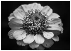 """""""Para el orgullo constituye una especie de placer el burlarse de los defectos que no se tienen y ese tipo de satisfacciones resultan tan gratas al hombre y especialmente a los imbéciles, que es muy raro ver que renuncien a él."""" (Elena m.d. 12.2 M views.) Tags: bw macromondays bn flower flores sprint nature petals macrofotografia monocromo 2019 new texturas nikon d5600 sigma sigma105"""