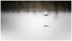 flying pied stilt (Surg55) Tags: bird flying shorebird pied stilt waterbirds water birdwatching lake