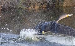 Grand cormoran - BFIM9687 (6franc6) Tags: occitanie languedoc gard 30 petitecamargue novembre 2019 6franc6