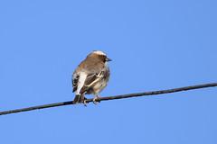 White-browed Sparrow-Weaver (chlorophonia) Tags: birds animals vertebrates ploceidae whitebrowedsparrowweaver animalia plocepassermahali windhoek khomasregion namibia