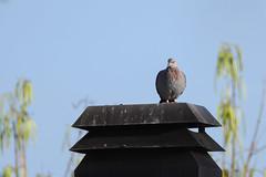 Speckled Pigeon (chlorophonia) Tags: birds columbidae vertebrates speckledpigeon animals animalia columbaguinea pigeonsanddoves windhoek khomasregion namibia