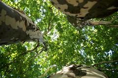 Scoliose (Atreides59) Tags: berlin allemagne deutschland germany arbre arbres tree trees nature ciel sky green vert jaune yellow pentax k30 k 30 pentaxart atreides atreides59 cedriclafrance
