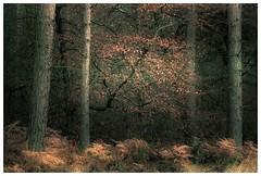 Beech Barcken and Pines (jamesdewar99) Tags: nature forest colour light flickr outdoorphotography landscape canon walkikng trees naturephotography uk scotland weekend