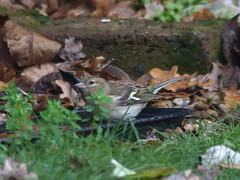 Chaffinch Beauty (river crane sanctuary) Tags: rivercranesanctuary nature chaffinch bird wildlife
