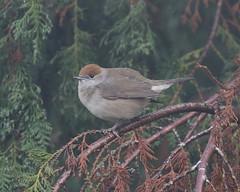 Surprise Visitor (Treflyn) Tags: female blackcap back garden reading berkshire uk wild bird surprise visitor nature earley