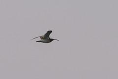 Whimbrel (chlorophonia) Tags: birds animals vertebrates whimbrel scolopacidae animalia numeniusphaeopus sandpipers walvisbay erongoregion namibia