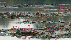 Water lillies (Campag3953) Tags: angkorwat siemreap cambodia temple lillies magenta