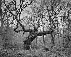 Savernake BW (The Forest Man) Tags: savernake forest oak trees winter blackwhite film filmisnotdead pentax6x7 75mmf45