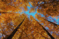 Dawn Red Wood (namhdyk) Tags: dawnredwood metasequoia trees autumn fall sonyrx100 woods forest