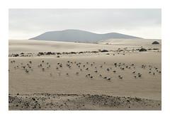 _K003728 (Jordane Prestrot) Tags: ♎ jordaneprestrot fuerteventura désert desert desierto mouette seagull gaviota dune duna