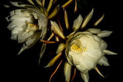 Queens of the Night Return (armct) Tags: queenofthenight epiphyllumoxypetalum cactus southamerican onenightstand night bloom flower display perfume aroma scent large nightblooming