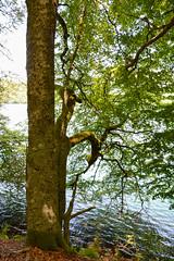 sBs_1907(vac2)_0055-2 (schoolartBYschoolboy) Tags: auvergne puydedome lake forest vulcan tree