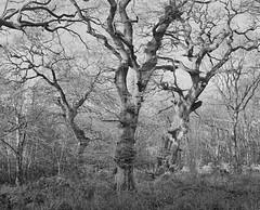 Savernake BW (The Forest Man) Tags: savernake forest trees oak pentax6x7 trix kodak film 105mmf24 england