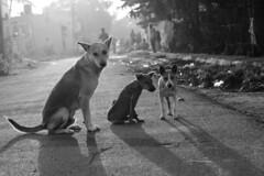 IMG_7971 (Shiv 'n) Tags: street dog blackwhite