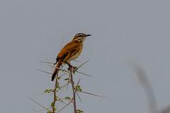 Kalahari Scrub-Robin (chlorophonia) Tags: birds animals vertebrates muscicapidae kalahariscrubrobin animalia cercotrichaspaena oldworldflycatchers oshikotoregion namibia