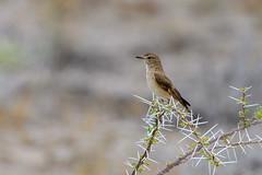 Chat Flycatcher (chlorophonia) Tags: birds animals vertebrates muscicapidae chatflycatcher agricolainfuscatus animalia oldworldflycatchers oshikotoregion namibia