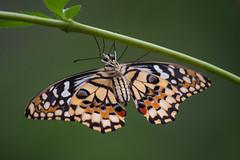 Spread your wings (Rene Mensen) Tags: wings butterfly macro micro d5600 rene mensen mariposa schmetterlinge glasshouse zoo emmen wildlands