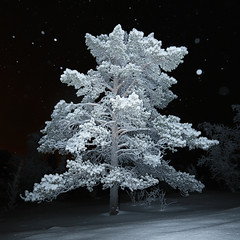 Frozen tree - Lapland (Frédéric Lefebvre - Landscape photography) Tags: lapland winter cold temperature snowx no people flash nightscape night photography dark pine tree frost sweden