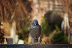 Raven (damianf5088) Tags: bird bokeh raven rook animal canon eos 1200d 55250 stm outdoor outside nature tele