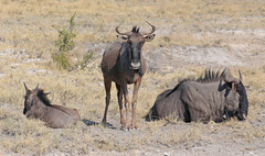 Blue Wildebeest (peterkelly) Tags: digital canon 6d africa namibia capetowntovicfalls intrepidtravel etoshanationalpark bluewildebeest wildebeest savanna