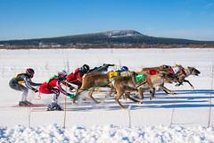 Reindeer race (ikkasj) Tags: lapland finland reindeer winter fun nature