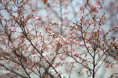 Cerasus ×subhirtella (Miq.) Masam. & Suzuki 'Autumnalis' (Jim Mayes) Tags: canon eos digital zoom 70200mm ef ef70200mmf28lusm 大阪市立長居植物園 大阪市