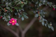 Camellia sasanqua cv. Fujikoana (Jim Mayes) Tags: canon eos digital zoom 70200mm ef ef70200mmf28lusm 大阪市立長居植物園 大阪市