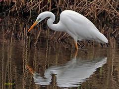 Garceta grande (Egretta alba) (29) (eb3alfmiguel) Tags: aves zancudas ciconiiformes ardeidae garceta grande egretta alba