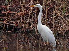 Garceta grande (Egretta alba) (26) (eb3alfmiguel) Tags: aves zancudas ciconiiformes ardeidae garceta grande egretta alba
