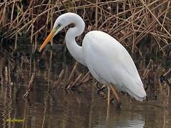 Garceta grande (Egretta alba) (25) (eb3alfmiguel) Tags: aves zancudas ciconiiformes ardeidae garceta grande egretta alba