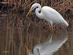 Garceta grande (Egretta alba) (23) (eb3alfmiguel) Tags: aves zancudas ciconiiformes ardeidae garceta grande egretta alba