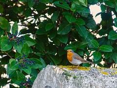 Rouge-gorge (doumé piazzolli) Tags: oiseau bird rougegorge passereaux passeriformes faune animaux jardin haie fz200 robin