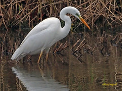 Garceta grande (Egretta alba) (16) (eb3alfmiguel) Tags: aves zancudas ciconiiformes ardeidae garceta grande egretta alba