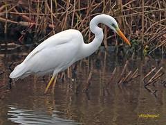 Garceta grande (Egretta alba) (6) (eb3alfmiguel) Tags: aves zancudas ciconiiformes ardeidae garceta grande egretta alba