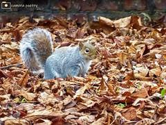 Grey Squirrel (camerapoetry) Tags: greysquirrel animal leaves nature brickwall urban urbanenvironment parklife parkland naturephotography crisp texture winter autumnalcolours alexandrapark manchester england uk