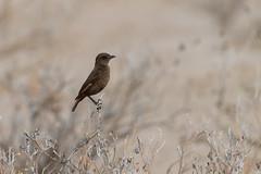 Southern Anteater-Chat (chlorophonia) Tags: birds animals vertebrates southernanteaterchat muscicapidae animalia myrmecocichlaformicivora oldworldflycatchers oshanaregion namibia