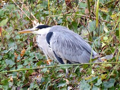 Grey Heron (camerapoetry) Tags: greyheron bird waterbird greenery nature parkland parklife urban urbanenvironment alexandrapark manchester england uk